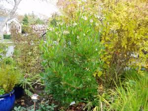 arbutus unedo - no protective cage