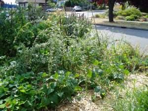 Haultain Common veggie patch  garden Victoria BC Pacific Northwest