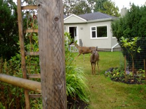 urban black tailed deer