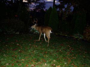 urban male black tailed deer