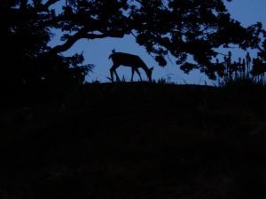 urban black tailed deer