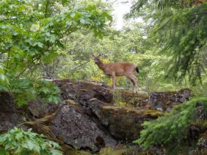 wild, black tailed deer
