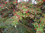 cotoneaster seasonal color, garden Victoria BC