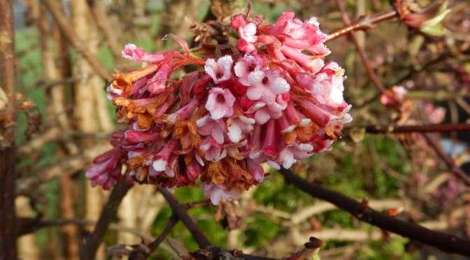 Winter Winner: Viburnum Pink Dawn