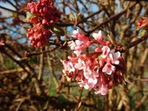 Viburnum bodnantense, Viburnum pink dawn garden Victoria BC Pacific Northwest