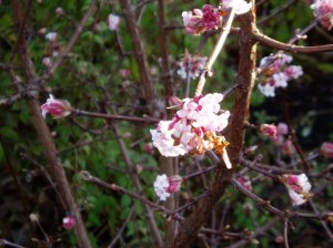 Viburnum (spring dawn) dec. cu - no leafs
