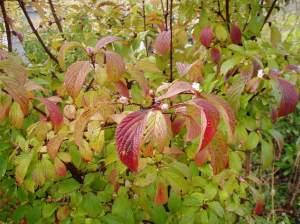 fall color of Viburnum pink dawn garden Victoria BC Pacific Northwest