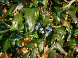Oregon grape with berries