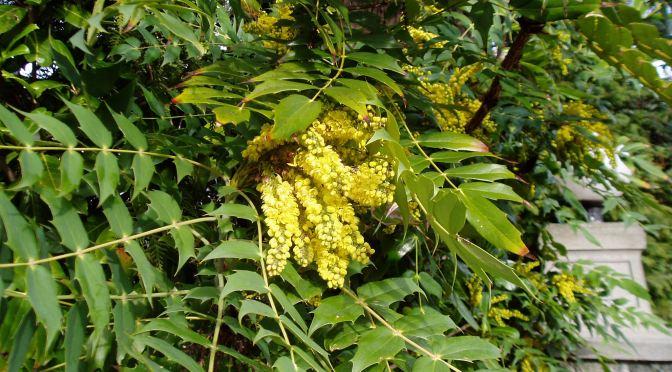 mahonia in flower garden Victoria BC Pacific Northwest