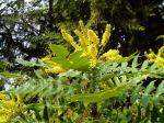mahonia bloom garden Victoria BC
