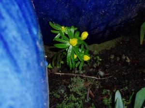 eranthis - winter aconite - between pots