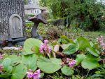 bergenia - elephant ears pig squeak garden Victoria BC Pacific Northwest