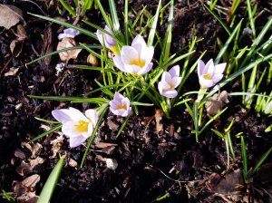 snow crocus in February