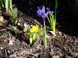 dwarf iris & winter aconite