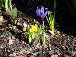 dwarf iris & winter aconite