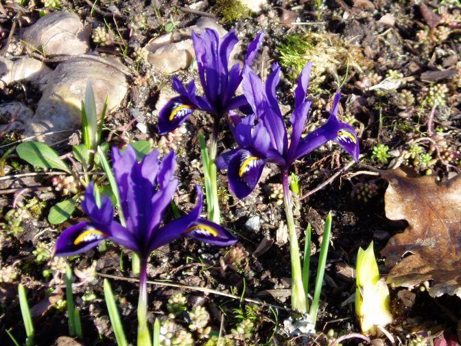 iris reticulata reticulated iris, dwarf iris garden Victoria BC Pacific Northwest