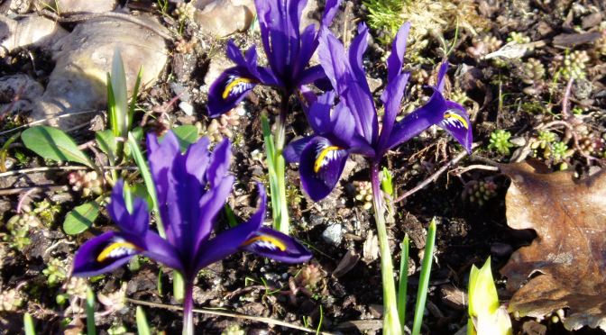Flower Count – day 4 – iris