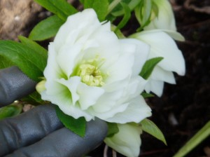 helleborus Hellebore - Mardi Gras double & hand garden Victoria BC Pacific Northwest