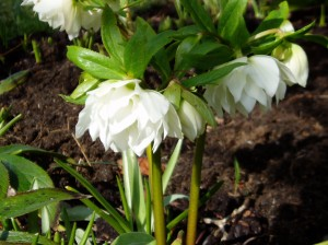 helleborus Hellebore - Mardi Gras double dangling garden Victoria BC Pacific Northwest