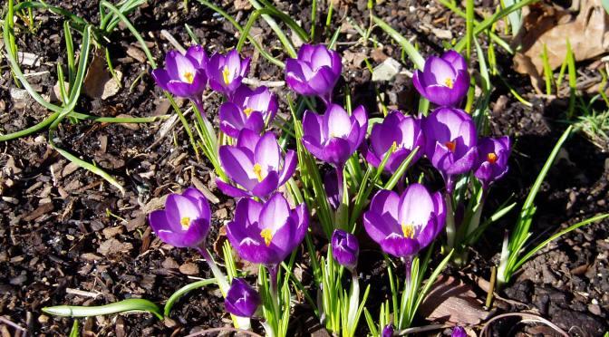 Flower Count – day 5 – crocus
