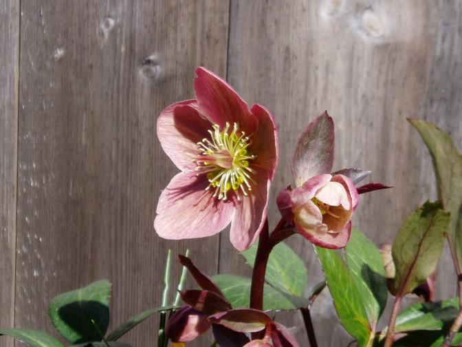 helleborus Hellebore - pink frost flower & bud garden Victoria BC Pacific Northwest