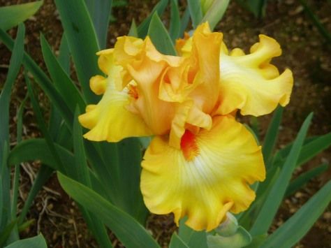 iris - crackling Caldera
