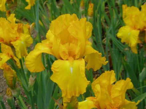 iris - sunny and warm