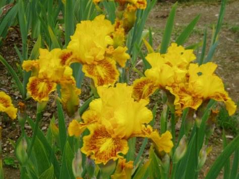 iris - dazzling gold