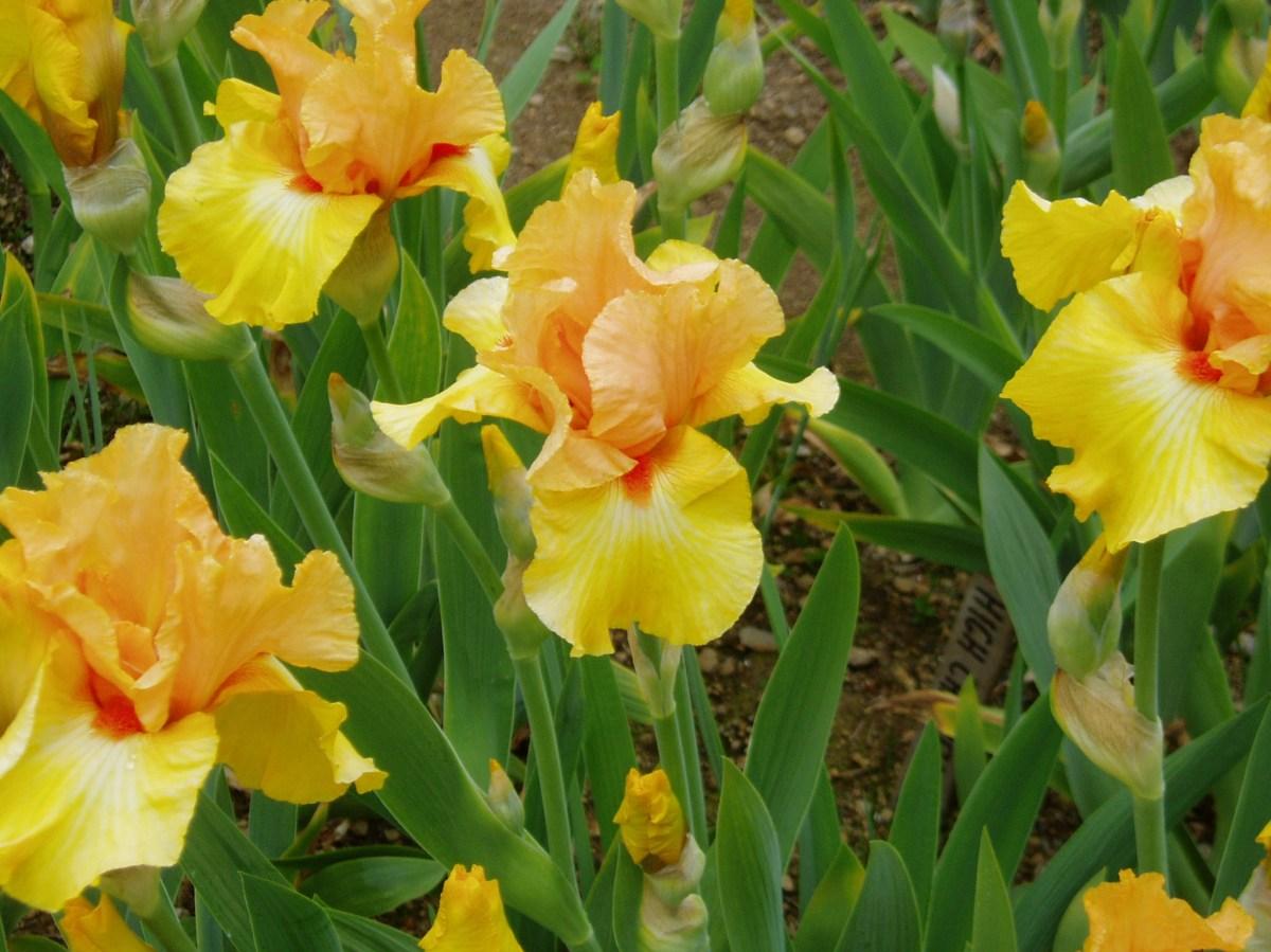 Ted Baker's Iris