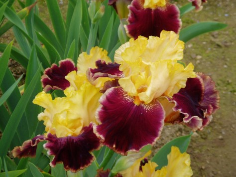 iris - Mexican holiday