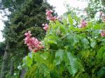 chestnut bloom