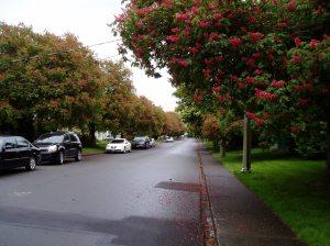 Chestnut lined street (behind Hillside Mall), Castanea,, conker tree, garden Vancouver Island Island Victoria BC Pacific Northwest