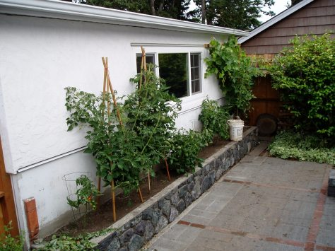grape vine survives the garage build (grape far right)