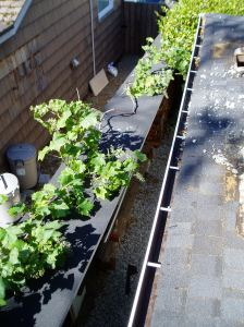 vine on fence / woodshed roof