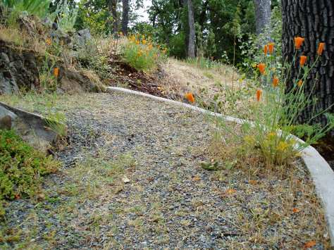 California Poppy in gravel path, garden Victoria BC