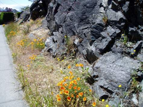 California Poppy at Snake Rock, garden Victoria BC