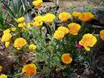 California Poppy - many blooms garden Victoria BC
