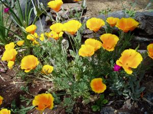 California Poppy - many blooms, garden Victoria BC