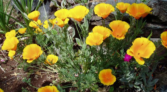 California Poppy, Eschscholzia californica - many blooms garden Victoria BC, garden Victoria, Vancouver Island, BC, Pacific Northwest
