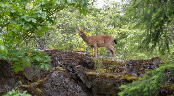 black tail deer above the Galloping Goose trail, garden Victoria, Vancouver Island, BC,