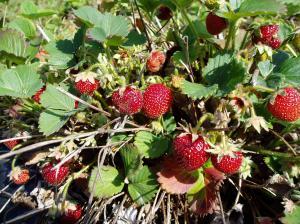 a berry bonanza