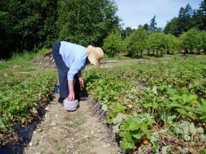 June picking strawberries