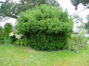 deer pruned the bottom 1/2 of shrub
