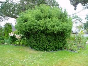 deer pruned the bottom 1/2 of shrub