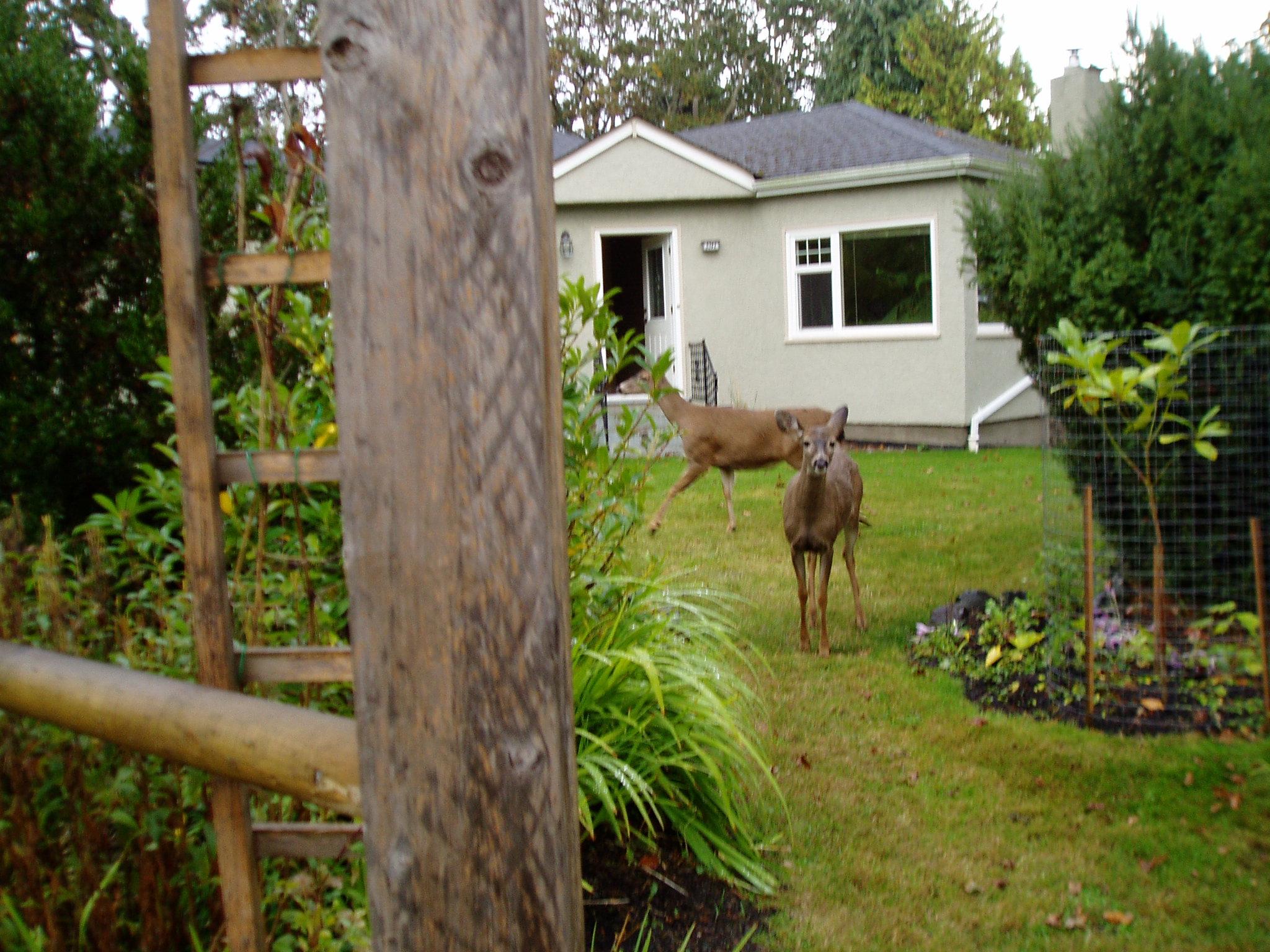 deer repellent for gardens. Deer Family In Our Yard 10/11 Repellent For Gardens