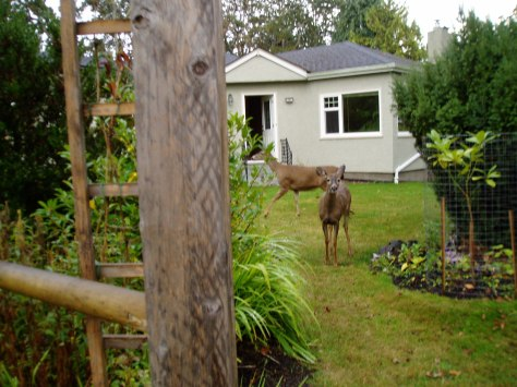 deer family in our yard 10/11