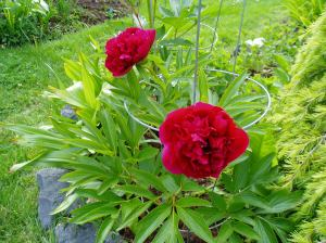 Peony - ms - red bloom
