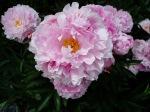 Peony -cu- new blooms