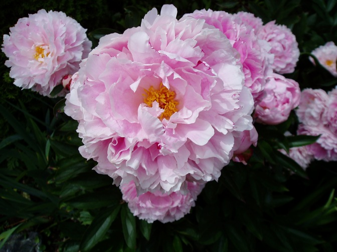 Another Vote for Peony