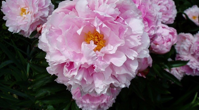 Herbaceous Peony -cu- new blooms, garden Victoria, Vancouver Island, BC,